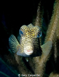 Spotted Trunkfish (Lactophrys bicaudalis)  -  Picture tak... by Gary Carpenter