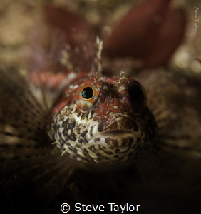 Femail scalyhead sculpin hiding in the kelp. Howe Sound, ... by Steve Taylor