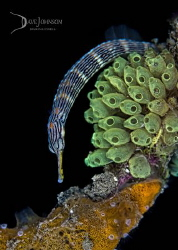 Pipefish twisting its way up an old mooring rope! by Dave Johnson
