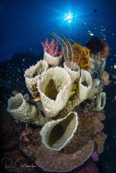 Coral Garden Bouquet-Weda Bay, Halmahera Island, Indonesia. by Richard Goluch