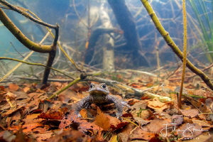 """The first one"", Common toad, Turnhout, Belgium. by Filip Staes"