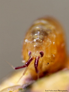 Crustacea: Amphipoda. Size of this tiny creature is appro... by Iyad Suleyman