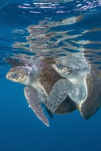 Turtles Mating, Puerto Vallarta México by Alejandro Topete