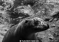 A sea lion is resting under the surface by Rune Edvin Haldorsen