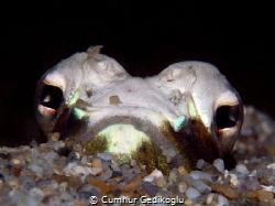 Trachinus radiatus Hidden face by Cumhur Gedikoglu