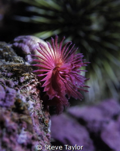 Red tubeworms are typically very skittish, but this one a... by Steve Taylor