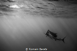 a stripped marlin by Romain Barats