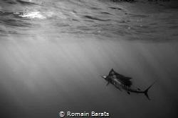 a stripped marlin by Romain Barats