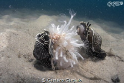 Arminas devouring a sea-pen by Gaetano Gargiulo