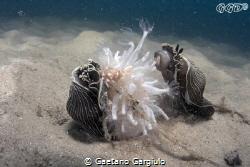 Arminas devouring a sea-pen by Gaetano Gargiulo
