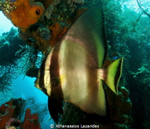 Majestic fish from Tulamben, Bali. by Athanassios Lazarides