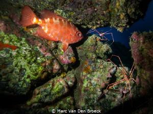 spiderfish by Marc Van Den Broeck