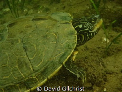 Northern Map Turtle,Welland Scuba Park by David Gilchrist