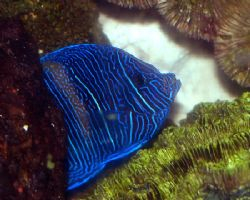 Maculosus Angelfish. canon digital rebel by Michael Canzoniero