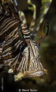 Lion fish portrait by Steve Taylor