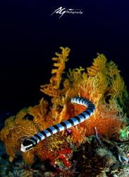 snake cross sea fan by Ag Hu