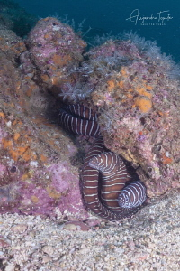Zebra moray´s in the rock, Acapulco México by Alejandro Topete