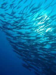Another shot of the barracuda, Shark Reef, Ras Mohamed ta... by Nikki Van Veelen