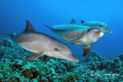 Dolphins , Umm Gamar by Claude Lespagne