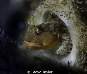 Scalyhead sculpin in a boot sponge. Howe Sound, British C... by Steve Taylor