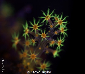 Fluorescent coral polyps, Lembeh Straight, Indonesia by Steve Taylor