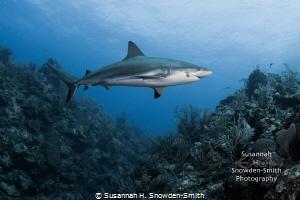 """Diorama""  A Caribbean reef shark cruises the deep wall.... by Susannah H. Snowden-Smith"