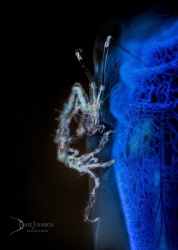 White Walker.  Skeleton shrimp on blue tunicate by Dave Johnson