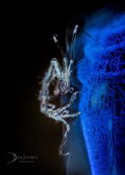 White Walker.  Skeleton shrimp on blue tunicate by Dave Johnson
