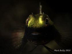 a black mouthed blenny at the Busselton jetty by Mark Reilly