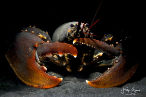 European lobster or common lobster (Homarus gammarus), Ze... by Filip Staes