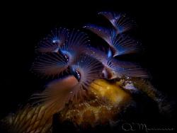 Christmas Tree Worm, Bonaire by Aleksandr Marinicev