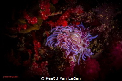 Coral Nudibranch in False Bay of the Cape Peninsula by Peet J Van Eeden