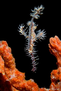 The Ornate Ghost Pipefish photographed in Ambon Harbor, I... by Norm Vexler