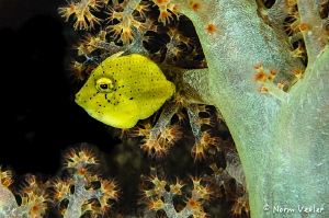 A Juvenile Filefish in Raja Ampat by Norm Vexler