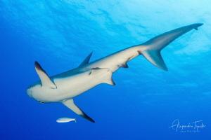 Caribean Shark Tail, Half moon Caye Belize by Alejandro Topete