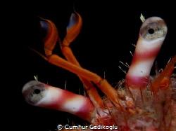 Dardanus calidus Eyes by Cumhur Gedikoglu