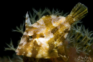 Juvenile Bristle-tail filefish (Acreichthys tomentosus), ... by Filip Staes