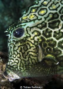Honeycomb cowfish, Something Special, Bonaire by Tobias Reitmayr
