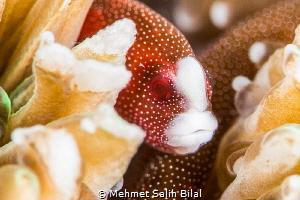 Pughead coral pipefish. Bulbonaricus davaoensis. by Mehmet Salih Bilal