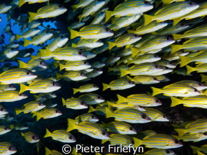 Shoal of Bluestriped Snapper by Pieter Firlefyn