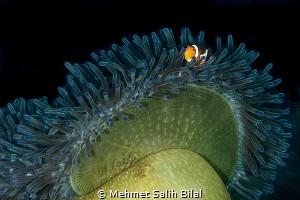 Ocellaris clownfish. by Mehmet Salih Bilal
