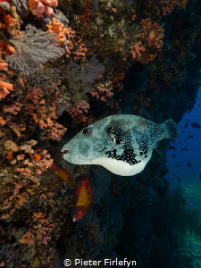 Pregnant pufferfish by Pieter Firlefyn