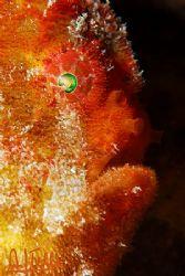 Frogfish portrait. Canary Islands, Spain. It's not easy t... by Arthur Telle Thiemann