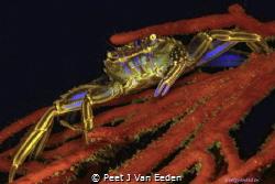 Cape Rock Crab by Peet J Van Eeden