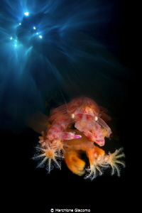 The balcony. Lembeh strait. Porcellain crab , double exp... by Marchione Giacomo