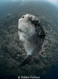 Glass Chin  Southern Ocean Sunfish - Mola alexandrini ... by Stefan Follows