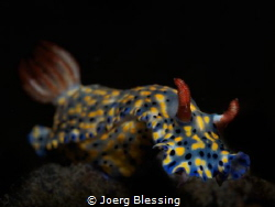 Hypselodoris Nudibranch by Joerg Blessing