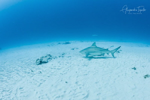 Bullshark in the sand, Playa del Carmen México by Alejandro Topete