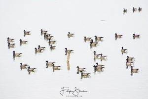 Pale-bellied Brent Goose (Branta hrota), Oosterschelde, Z... by Filip Staes