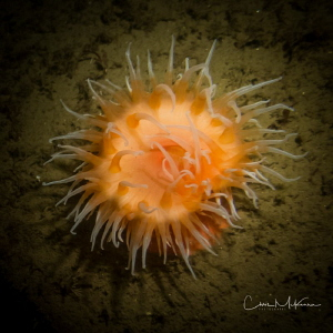 Orange anenome by Chris Mckenna